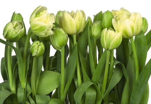 8-900 Tulips