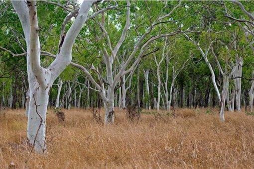 MU1386 - Gum Tree