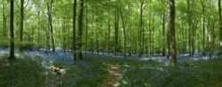 MU1118 - Bluebell Forest