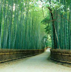 MU1066 - Sagano Bamboo Forest, Kyoto, Japan
