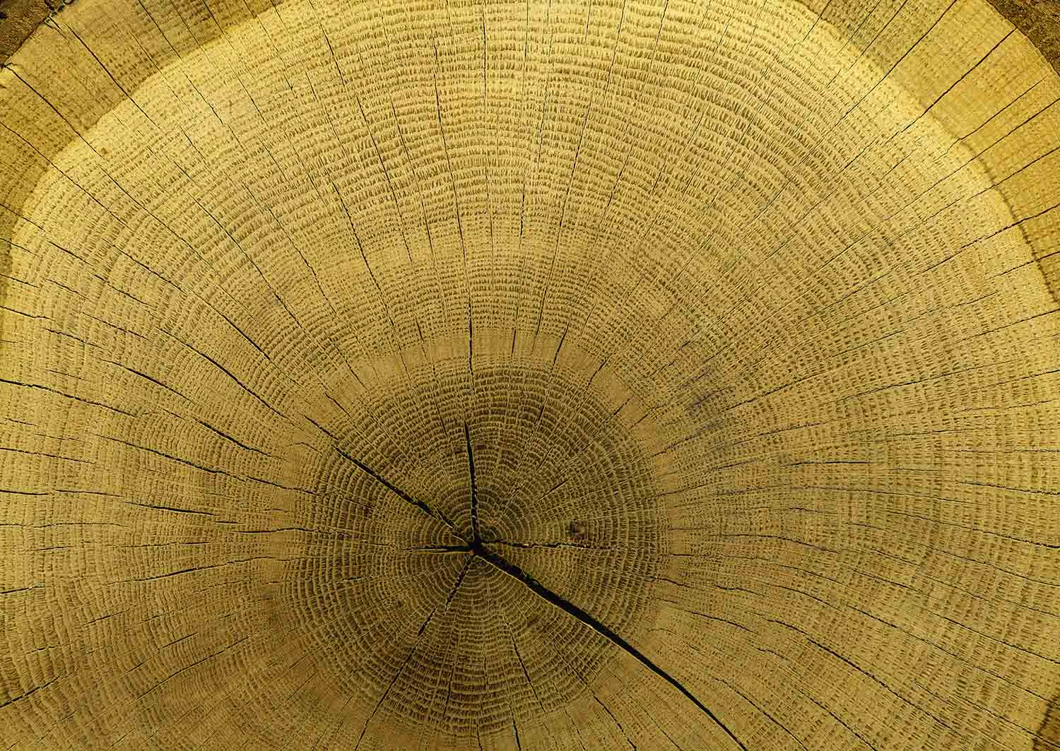 MU1589 - Centenary Tree Trunk