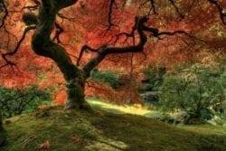 MU1510 - Japanese Maple Tree