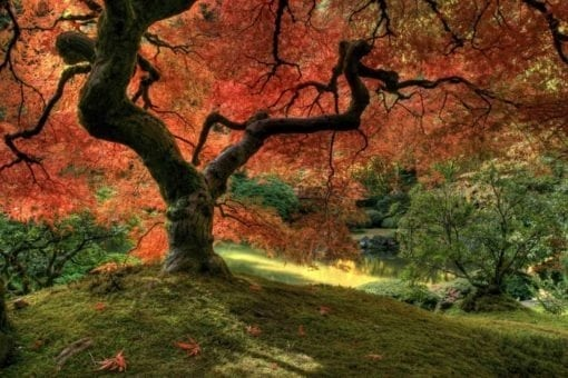 MU1510 - Japanese Maple Tree