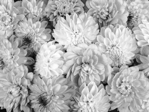 Dahila-black-and-white